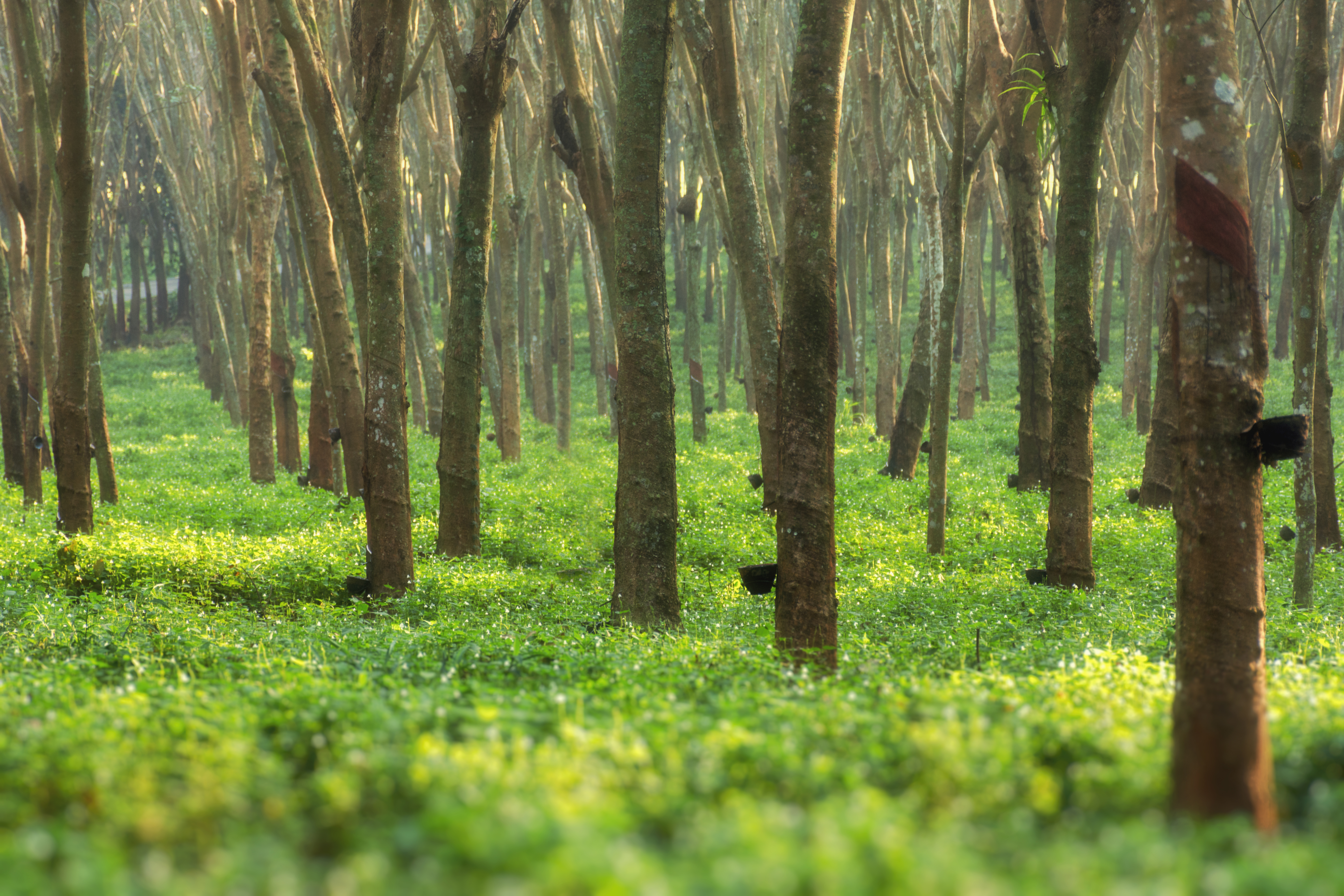 Morning at the rubber tree green forest at Suratthani, Thaialand.